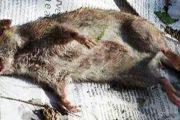 Ferrara: i ratti in centro storico invadono i giardini degli abitanti
