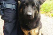 Bologna: il ritorno a scuola di Drago, il cane antidroga dei Carabinieri