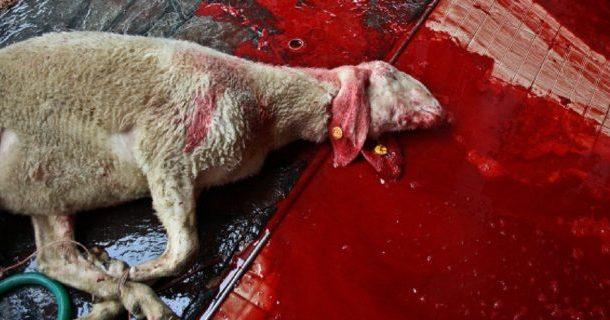 Vigarano Mainarda (fe): pecore sgozzate da mussulmani con atroci sofferenze