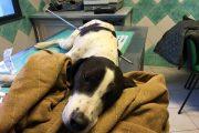 Crudeltà inaudita su un cane trapassato con un ferro appuntito: ad Oristano la clinica DueMari cerca di salvarlo