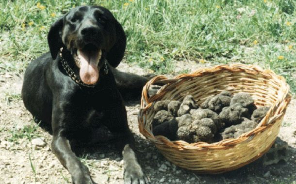 Bondeno (fe): 1° Maggio dedicato alla gara di cani da tartufo