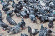Terre del Reno (fe):  I piccioni sono tornati,  Lodi