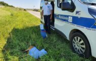 Bondeno (Fe) - La polizia locale soccorre un cucciolo di Daino