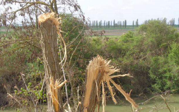 Bondeno (fe): Taglio alberi a