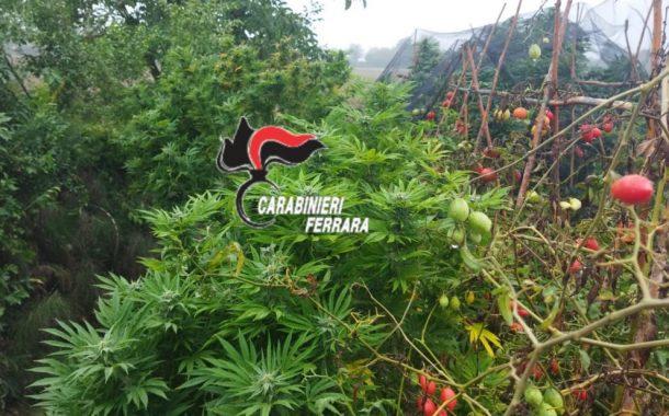 Migliarino (fe): Pensionato coltiva marijuana tra i pomodori